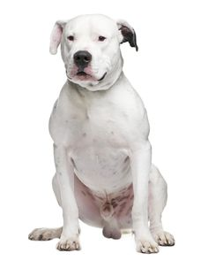 Many Dogo Argentino Dogs Are Born Deaf Due To The White Coat