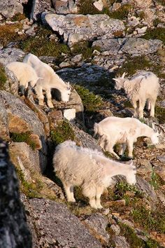 A group of mountain goats in Kenai Fjords National Park, Alaska, USA Kenai Fjords, Alaska, Goats, National Parks