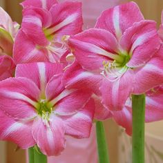 Shop online in the UK for Amaryllis Summertime. Hippeastrum, commonly known as Amaryllis, are native to South Africa and make fabulous indoor flowering bulbs. Summertime has intense bubblegum pink flowers with white streaks. Bulb Flowers, Love Flowers, Flower Vases, Beautiful Flowers, Amaryllis Plant, Amaryllis Bulbs, Amarillis, Pink Petals, Barbados
