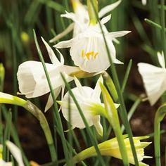 DAFFODIL HOOP PETTICOAT WHITE - Garden Express