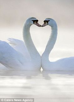 #11.The act of becoming married means that you are choosing a partner for life. Swans are a great demonstration of loyalty, as they always mate for life.