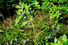 Picture of the Day at blueberries are ready for picking at Helsinki's Central Park - everyman's right in Finland, so go and get them! Helsinki, Central Park, Blueberries, Finland, Herbs, Plants, Pictures, Photos, Berry