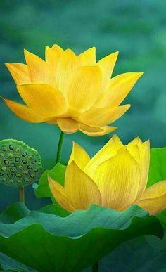 Beautiful Flowers Garden, Flowers Nature, Exotic Flowers, Amazing Flowers, Pretty Flowers, Yellow Flowers, Lotus Flowers, Lotus Kunst, Lotus Art