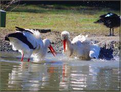 "Storks Story, ""The Love Period - The Joy of Play"", Association Center for Storks - Olaszország Storks, Feathers, Period, Birds, Holidays, Outdoor, Beauty, Animals, Nature Animals"
