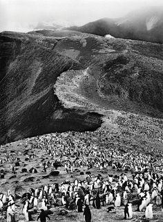 Chinstrap Penguins by Sebastião Salgado: Deception Island, Antartica  #Photography #Penguins