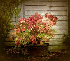 love the colors -thelittlecorner:    The Little Corner  Hydrangea in Autumn/Vesna Amstrong