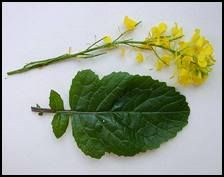 problems. It enhances blood circulation. Mustard plant gives mustard ...