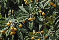 The Health Benefits Of Loquat Leaves