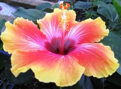 Hibiscus sp   Sunset  Exotic Dream Series  Tropical  Plant  4 and half  inch  Pot. I want to try these next summer!