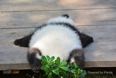 The panda looks like an animal rug Soo cute Cute Funny Animals, Cute Baby Animals, Animals And Pets, Panda Love, Cute Panda, Photo Panda, Panda Wallpapers, Jolie Photo, Cute Animal Pictures