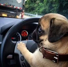 Vines of funny pets. Pugs are fantastic. Vines of funny dogs. Pugs are amazing. Cute Pug Puppies, Cute Dogs, Dogs And Puppies, Bulldog Puppies, Black Pug Puppies, Cute Baby Animals, Funny Animals, Raza Pug, Dog Sleep