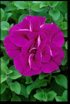 TUMBELINA Rosella - David & Priscilla Kerley, Breeders of Novel Patio Plants