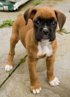 A cute boxer pup!