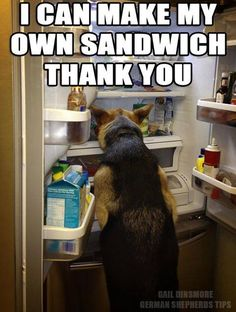 LOL! #dogs #pets #GermanShepherds facebook.com/sodoggonefunny