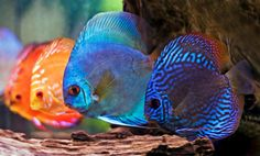 Discus are one of the most beautiful fish in the freshwater aquarium hobby today, but they are als...