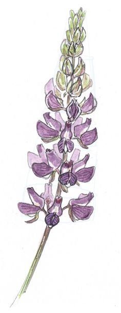 How to Draw Lupine Step-by-Step - John Muir Laws