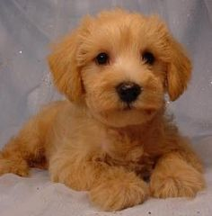 This is a great fact page for the kind of puppy I want to get, a schnoodle! A mix between a mini poodle and a mini Schnauzer! No shedding and such a great personality!