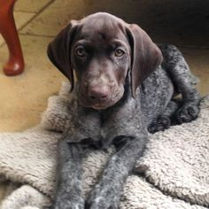 Hello from Dotty. Newest member of the family.  #dogsofinstgram  #gsp.  #sleeplessnights