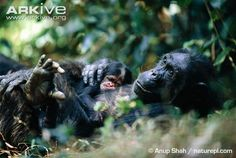 Female chimpanzee rests with her baby Troglodytes, Rainforests, Beautiful Forest, Chimpanzee, Lemur, Primates, Congo, Attraction, Africa