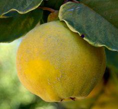 Como cultivar Marmelos – como fazer marmelada Saiba como fazer mais coisas em http://www.comofazer.org/ciencia/como-cultivar-marmelos-como-fazer-marmelada/