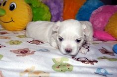 Adorable Paws / B-Wurf Malteser Welpen, 10.12.2014, 3 Wochen alt, Züchter Daniela Krüger