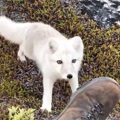 Sch ner knows he arctic fox fox # prettier # whiter Sch ner wei er Polarfuchs - Art Of Equitation Cute Funny Animals, Cute Baby Animals, Funny Cute, Cute Dogs, Nature Animals, Animals And Pets, Wild Animals Videos, Cute Animal Videos, Arctic Fox