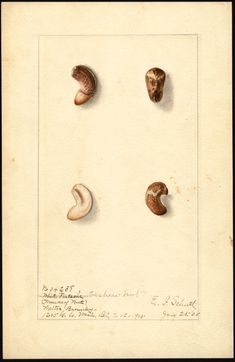 Artist:     Schutt, Ellen Isham, 1873-1955  Scientific name:     Anacardium occidentale  Common name:     cashew nuts  Geographic origin:     Washington, D.C., United States  Physical description:     1 art original : col. ; 17 x 25 cm.  NAL note:     White Pistache written and crossed out on watercolor  Specimen:     34238  Year:     1905  Notes on original:     monkey nut  Date created:     1905-07-25