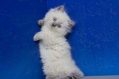 Melinda - Blue Point Female Ragamuffin Kitten