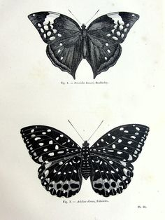Antique butterfly print original 1860 lepidoptera by TheLyraNebula, $25.00