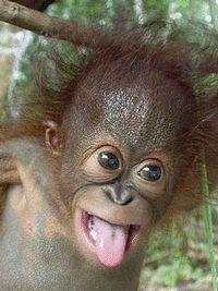 L'orang-outang en danger