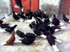 güvercin bursa güvercinleri 5 - Google'da Ara