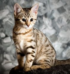 Bella, a Bengal kitty Kittens Cutest, Cats And Kittens, Cute Cats, Crazy Cat Lady, Crazy Cats, Toyger Cat, Asian Leopard Cat, 5 April, Egyptian Mau