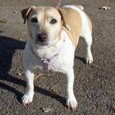 Buttons is a 10 year old female Jack Russell Mix.  For more infomation, please check out our website at www.adoptadog.org