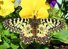(Südlicher) Osterluzeifalter Zerynthia polyxena Southern Festoon Schmetterlinge und Raupen Südeuropas Griechenland Italien Südfrankreich Spanien Portugal Korsika Sardinien Kroatien Schmetterling