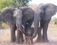 Holes in My Soles: Botswana Elephant Traffic Jam: Or How Emmylou Harris saved my life.