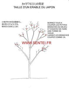 taille rable du japon taille japonaise sentei plantes pinterest bonsai gardens and. Black Bedroom Furniture Sets. Home Design Ideas