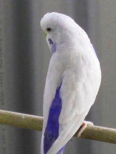 17 En Iyi Muhabbet Kuşu Görüntüsü Budgies Parakeets Ve Beautiful