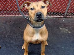 URGENT - DEATH ROW DOG -  Manhattan Center - NYC    My name is ASTOR. My Animal ID # is A0926630. I am a female brown pit bull mix. The shelter thinks I am about 7 months old.    Lady Astor is a petite girl wearing a beautiful healthy well taken care of tan coat. She makes wonderful soft eye contact, sits on command, seems to be housetrained and is a sweetheart!! She is a bit shy, low key and gentle and will need a home to love her and nurture her and help her grow.