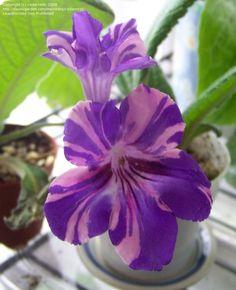 156.Streptocarpus (Cape primrose)