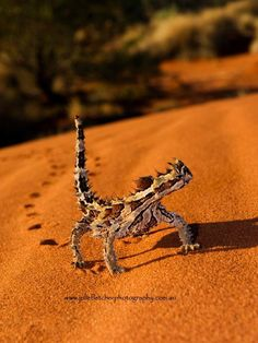Thorny Devil at Uluru, Northern Territory AU - by Julie Fletcher Photography Reptiles And Amphibians, Mammals, Funny Vintage Ads, Terrarium Reptile, Australian Photography, Theater, Australia Animals, Desert Dream, Julie