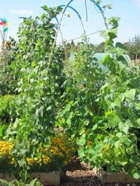 Arches for growing beans between raised beds from the article Supports for climbing beans