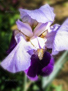 Gladioli flower 3