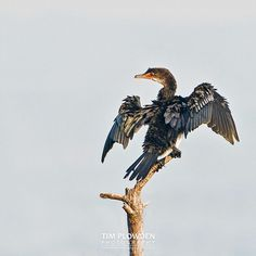 Cormorants are excellent fisher birds but do not have waterproof feathers. The cormorant feathers are easily waterlogged which allows them to sink and dive faster. The cormorant would often be seen sitting on rocks with their wings spread out to dry out their wet feathers.  Subject: Cormorant  Location: Africa  #timplowdenphotography #bird #birdphotography #birding #birds #feathers #facts #educate #wildlife #nature #habitat #fishing #africa #travel #traveling #behavior #airdry #beak #perch…