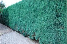 Blå cypres  Chamaecyparis lawsoniana 'Columnaris Glauca' (dansk: blå cypres) har en enestående blå farve og anvendes ofte til hæk. Denne klassiske sort af cypres sætter farve på haven og har et dejligt, særligt udseende. Blå cypres er forholdsvis slank og bør beskæres 1-2 gange om året, for at holde den kompakt. Blå cypres skal ikke placeres i vandlidende jord.
