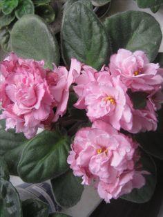 ЕК-Розовая Гирлянда(стандарт)