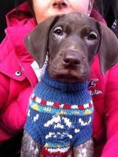 gsp in a jumper. german shorthaired pointer