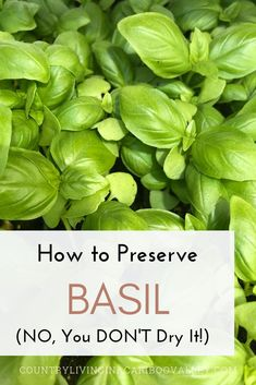 How to grow lots of Basil and then preserve it for fresh eating all year round. Instead of drying Basil, try this instead. Basil leaves are great in Pestos and adding to any Italian recipe for seasoning. Growing herbs in your garden is easy. to dry Herb Recipes, Canning Recipes, Italian Recipes, Italian Cooking, Canning Tips, Freezing Basil, Preserving Basil, Basil Harvesting, Preserve Fresh Herbs