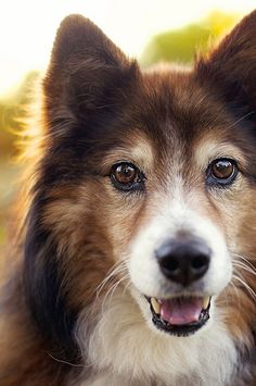 ~ SENIOR SHELTIE ~