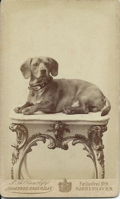 c.1880s cdv of distinguished dachshund lying on fancy, marble-top table. Photo by Johannes Hauerslev, Copenhagen, Denmark. From bendale collection