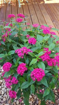 Pentas - survive summers and attract butterflies/ hummingbirds